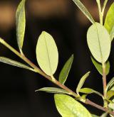vrba kantabrijská <i>(Salix cantabrica)</i> / List