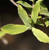vrba salviifolia <i>(Salix salviifolia)</i> / List