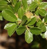 vrba medvědí <i>(Salix uva-ursi)</i> / List