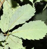dub pilovitý <i>(Quercus serrata)</i> / List