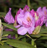 pěnišník catawbiense <i>(Rhododendron catawbiense)</i> / Květ/Květenství