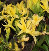 pěnišník žlutý <i>(Rhododendron luteum)</i> / Květ/Květenství