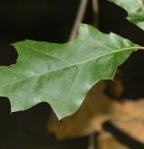 dub pagoda <i>(Quercus pagoda)</i> / List