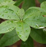 pěnišník měsíčkový <i>(Rhododendron calendulaceum)</i> / List