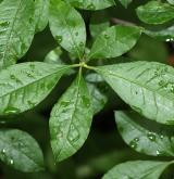 pěnišník višňolistý <i>(Rhododendron prunifolium)</i> / List