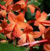 pěnišník višňolistý <i>(Rhododendron prunifolium)</i> / Květ/Květenství