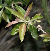 vrba kanárská <i>(Salix canariensis)</i> / List