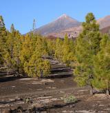 borovice kanárská <i>(Pinus canariensis)</i> / Porost