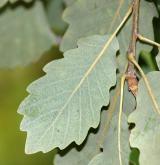 dub alžírský <i>(Quercus canariensis)</i> / List