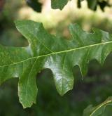 dub lyrovitý <i>(Quercus lyrata)</i> / List
