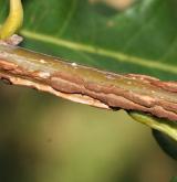 dub lyrovitý <i>(Quercus lyrata)</i> / Větve a pupeny