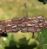 dub lyrovitý <i>(Quercus lyrata)</i> / Borka kmene