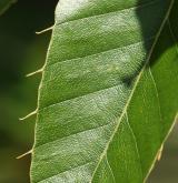 dub proměnlivý <i>(Quercus variabilis)</i> / List