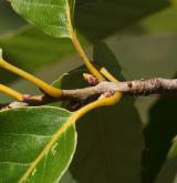 dub proměnlivý <i>(Quercus variabilis)</i> / Větve a pupeny