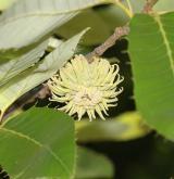 dub proměnlivý <i>(Quercus variabilis)</i> / Plod
