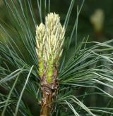 borovice rumelská <i>(Pinus peuce)</i> / Květ/Květenství