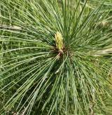 borovice thunbergii <i>(Pinus thunbergii)</i> / Květ/Květenství