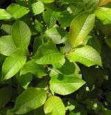 vrba slezská <i>(Salix silesiaca)</i> / List