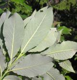 vrba  <i>(Salix ×subcaprea)</i> / List