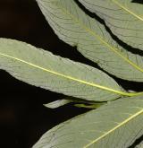 vrba melanostachya <i>(Salix melanostachya)</i> / List