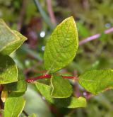 vrba  <i>(Salix ×onusta)</i> / List