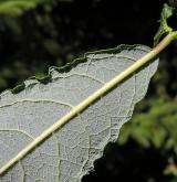 vrba  <i>(Salix ×subaurita)</i> / List