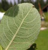 vrba  <i>(Salix ×capreola)</i> / List