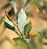 vrba popelavá <i>(Salix cinerea)</i> / List