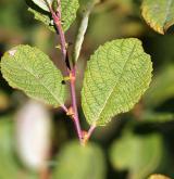 vrba ušatá <i>(Salix aurita)</i> / List