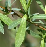 vrba nachová <i>(Salix purpurea)</i> / List