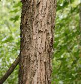 vrba trojmužná <i>(Salix triandra)</i> / Borka kmene
