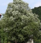 vrba šedá <i>(Salix elaeagnos)</i> / Habitus