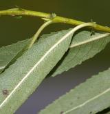 vrba křehká × trojmužná <i>(Salix ×alopecuroides)</i> / List