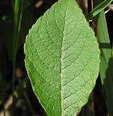 vrba  <i>(Salix ×chlorophana)</i> / List
