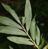 vrba  <i>(Salix ×bifida)</i> / List