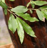 vrba  <i>(Salix ×holosericea)</i> / Květ/Květenství