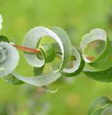 vrba babylonica <i>(Salix babylonica)</i> / List