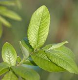 vrba velkolistá <i>(Salix appendiculata)</i> / List