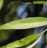 vrba hřbitovní <i>(Salix ×sepulcralis)</i> / List