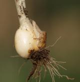 křivatec žlutý <i>(Gagea lutea)</i> / Zásobní orgán/orgán klonálního růstu