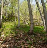 Suťové a skalní lesy <i>(Tilio platyphylli-Acerion)</i> / Porost