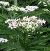 bez chebdí <i>(Sambucus ebulus)</i> / Květ/Květenství