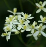 plamének přímý <i>(Clematis recta)</i> / Květ/Květenství
