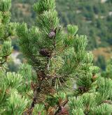 borovice kleč <i>(Pinus mugo)</i> / List