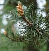 borovice uncinata <i>(Pinus uncinata)</i> / Květ/Květenství