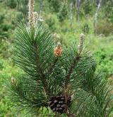 borovice uncinata <i>(Pinus uncinata)</i> / List