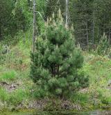 borovice uncinata <i>(Pinus uncinata)</i> / Habitus