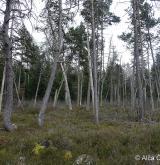 borovice uncinata <i>(Pinus uncinata)</i> / Porost