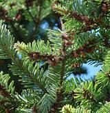 jedle bělokorá <i>(Abies alba)</i> / Větve a pupeny
