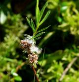 vrba rozmarýnolistá <i>(Salix rosmarinifolia)</i> / Plod